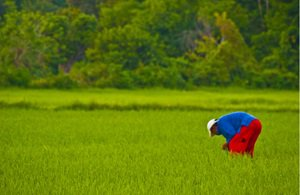 rice-philippines-300x200.jpg