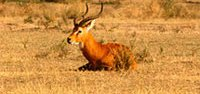 uganda-kob2001.jpg