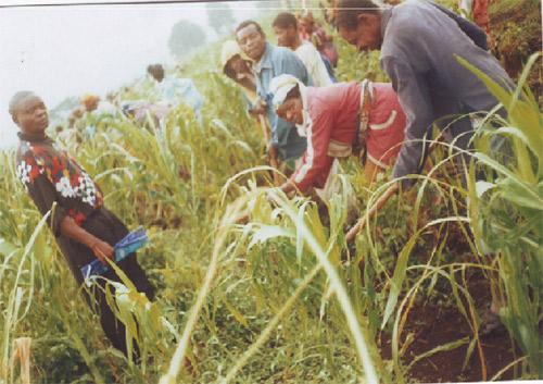 Work in a corn field as part of a CODHAS programme to improve relations between different ethnic groups in North Kivu.