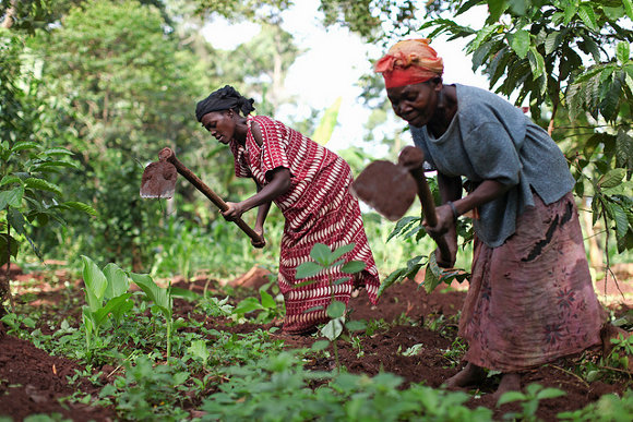 Women tend crops on a farm in Uganda
