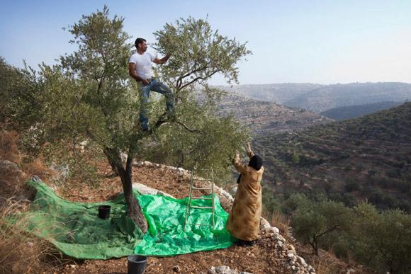 Farmers harvest olives in Galilee. Image credit Jabalna